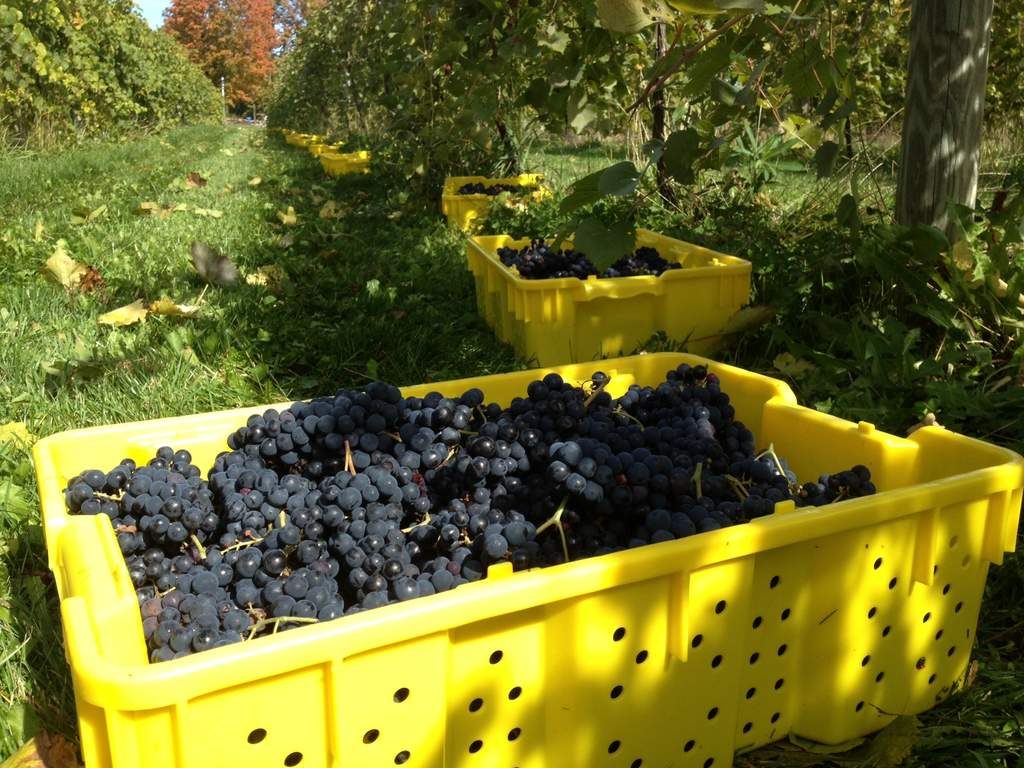 Lugs of hand-harvested marquette grapes from our vineyard are crafted into award winning wines.
