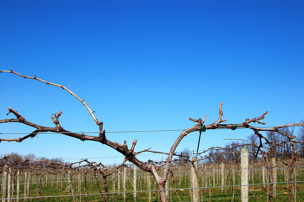 Pruning is complete at Victory View Vineyard in April.