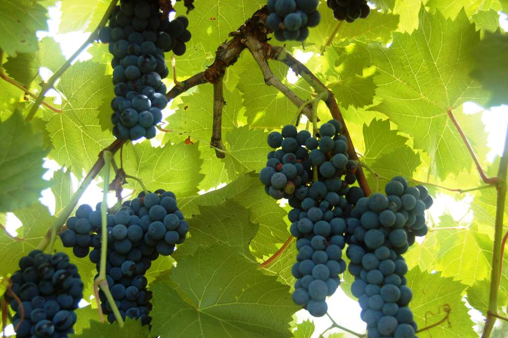 Marquette grapes survive cold winters at Victory View Vineyard.