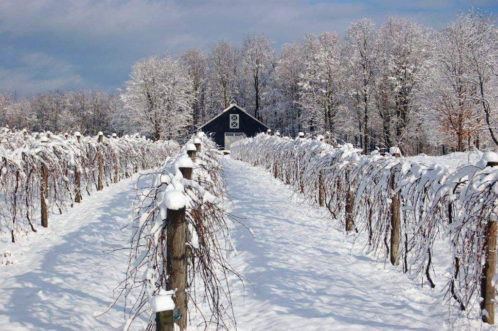 Snow covered wines and trellis at Victory View Vineyard.