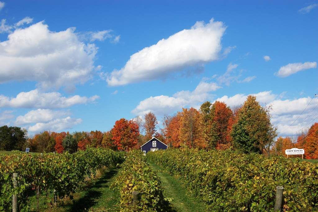 marquette @Victory View Vineyard in autumn