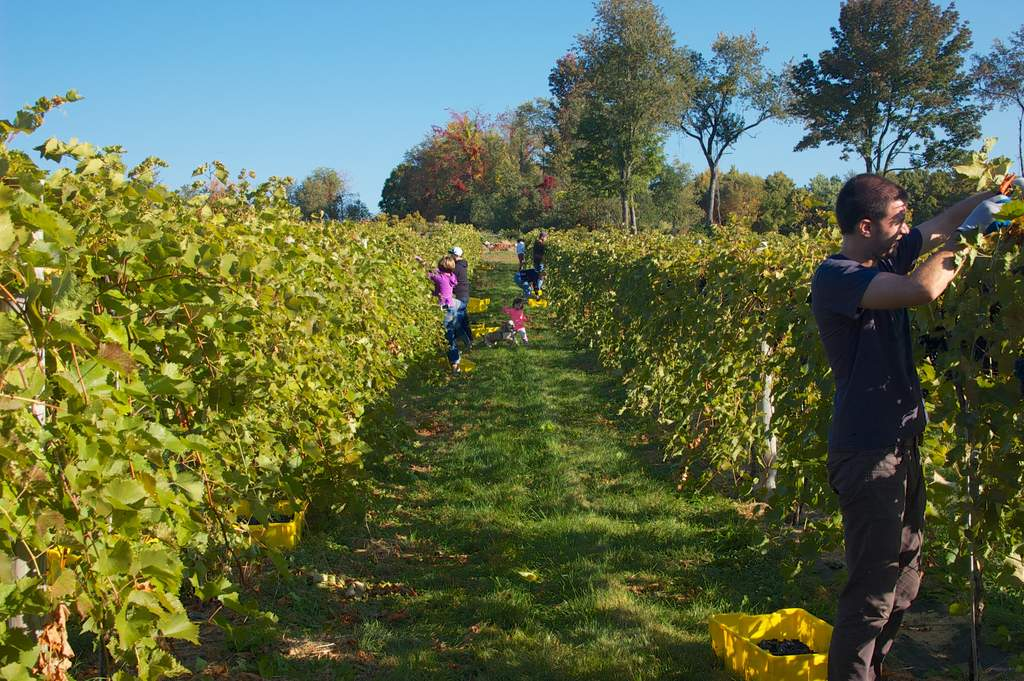 harvesting marquette grapes
