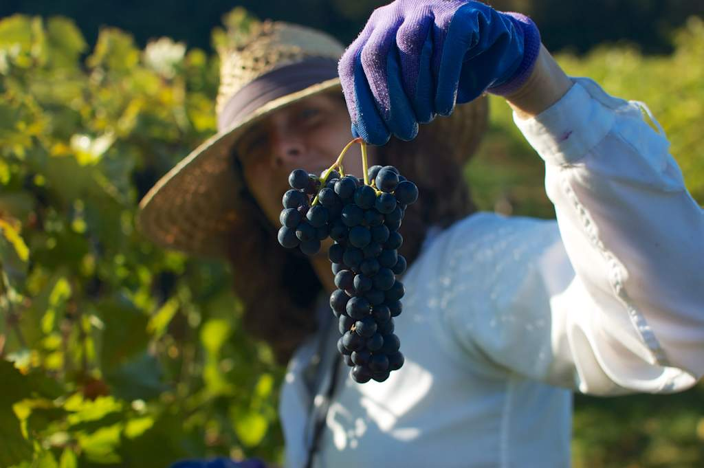 Mary is holding a cluster of marquette grapes during Victory View Vineyard's harvest.