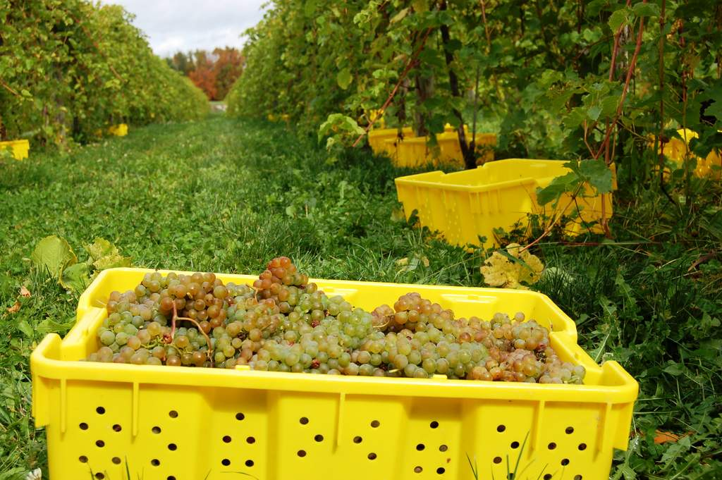 harvesting lacrosse grapes in upstate NY at Victory View Vineyard