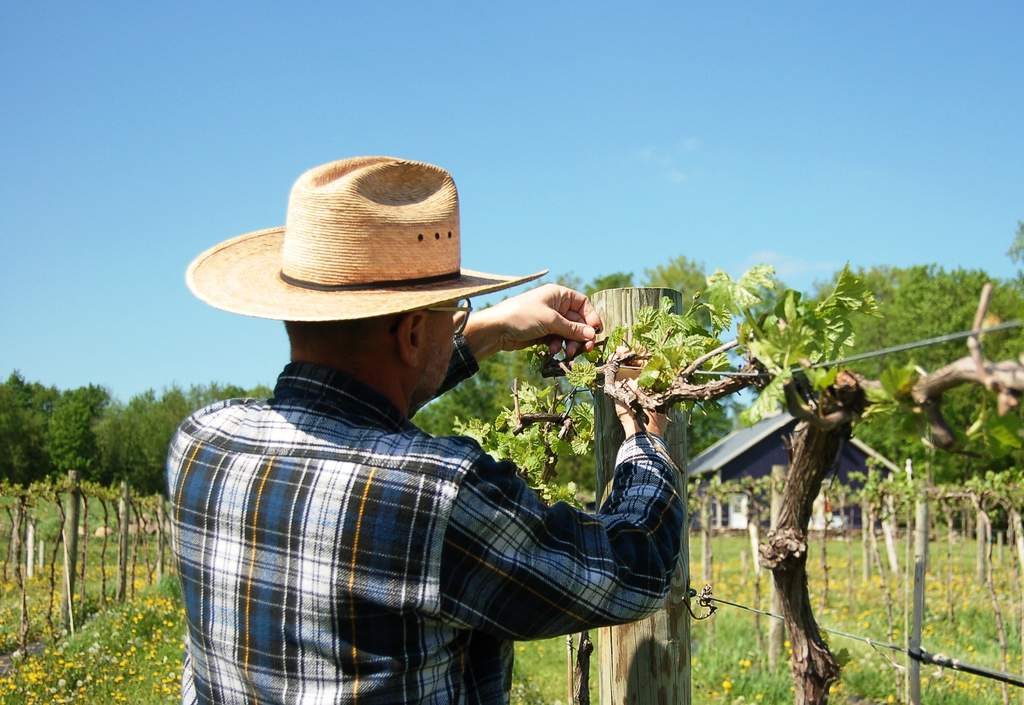 Gerry tying up marquette grape vines