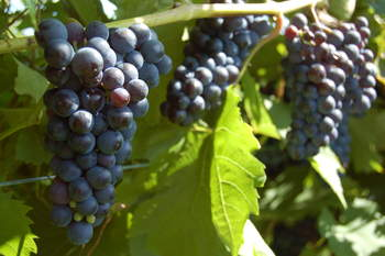 Marechal Foch grapes at Victory View Vineyard