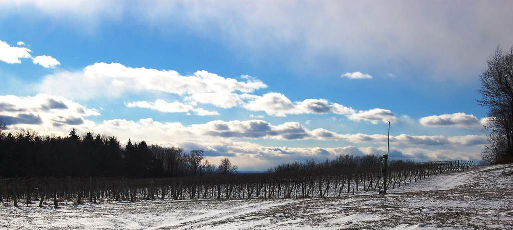 Winter of 2016 at Victory View Vineyard under dramatic sky.