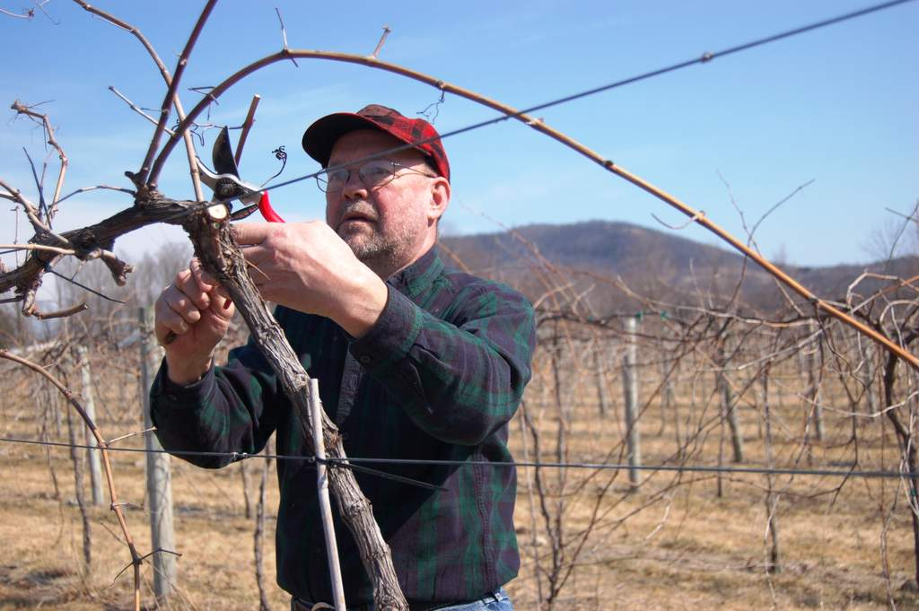 Gerry is pruning marquette grapevines.