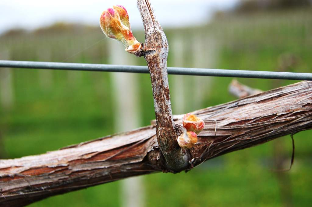 grapevine bud on spur @victoryviewvineyard