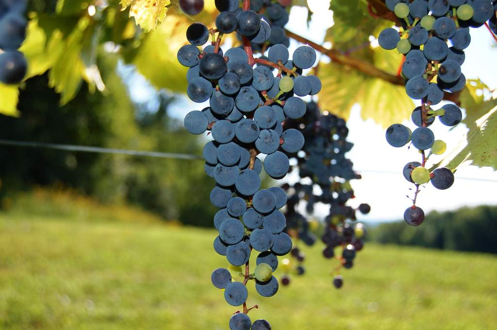 frontenac wine grape