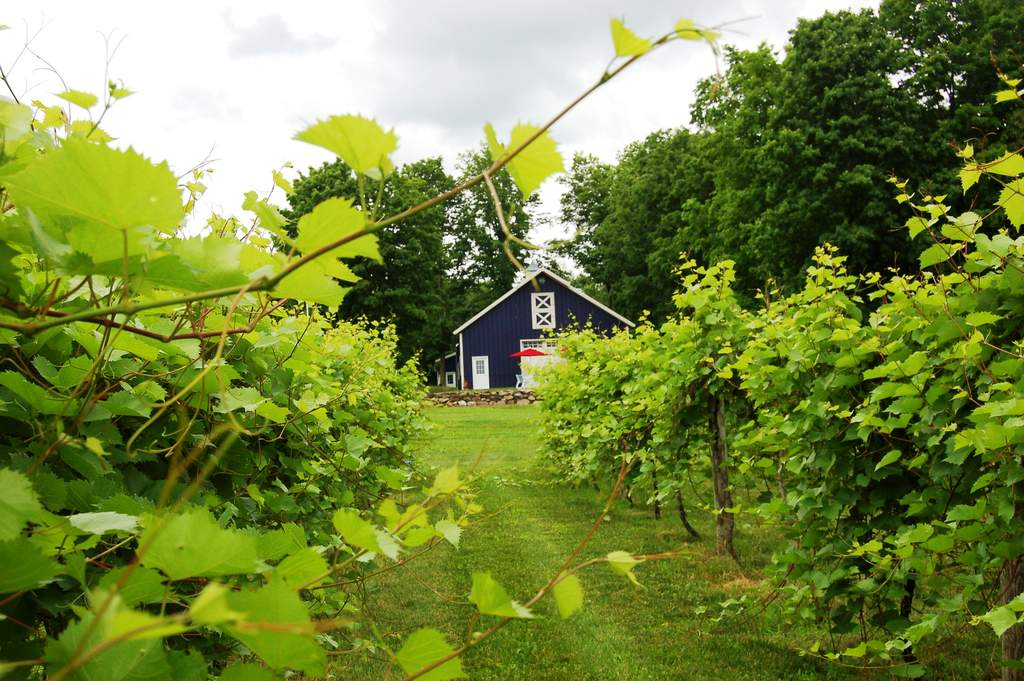 marquette grapevines at victory View Vineyard on Upper Hudson Valley Wine Trail