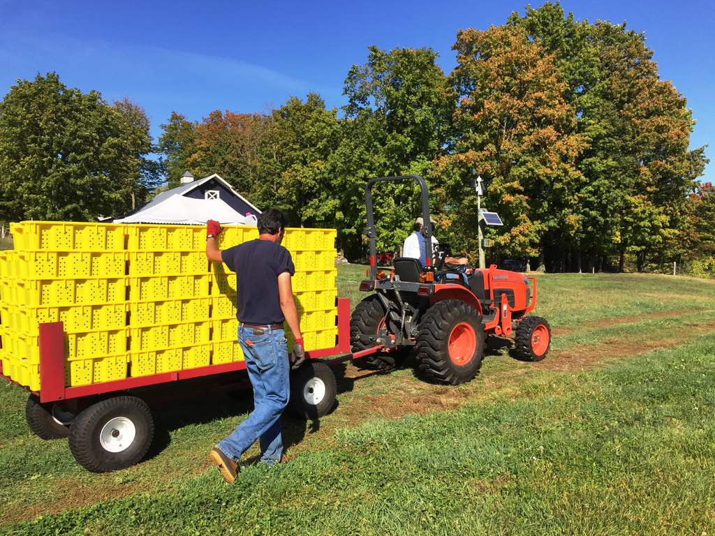 A wagon full of foch wine grapes goes right from vineyard to the crusher.