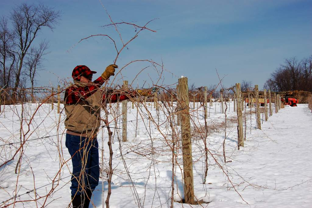 Gerry winter prunes grape vines at Victory View Vineyard.