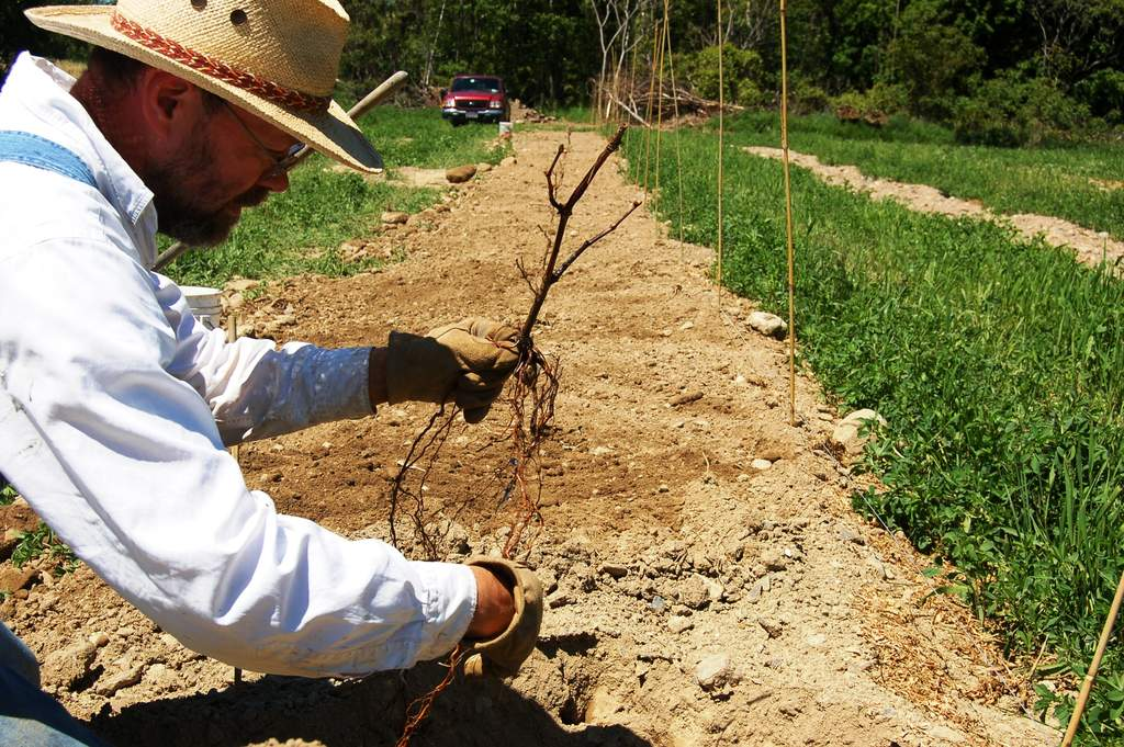 Planting first row of marquette grapes