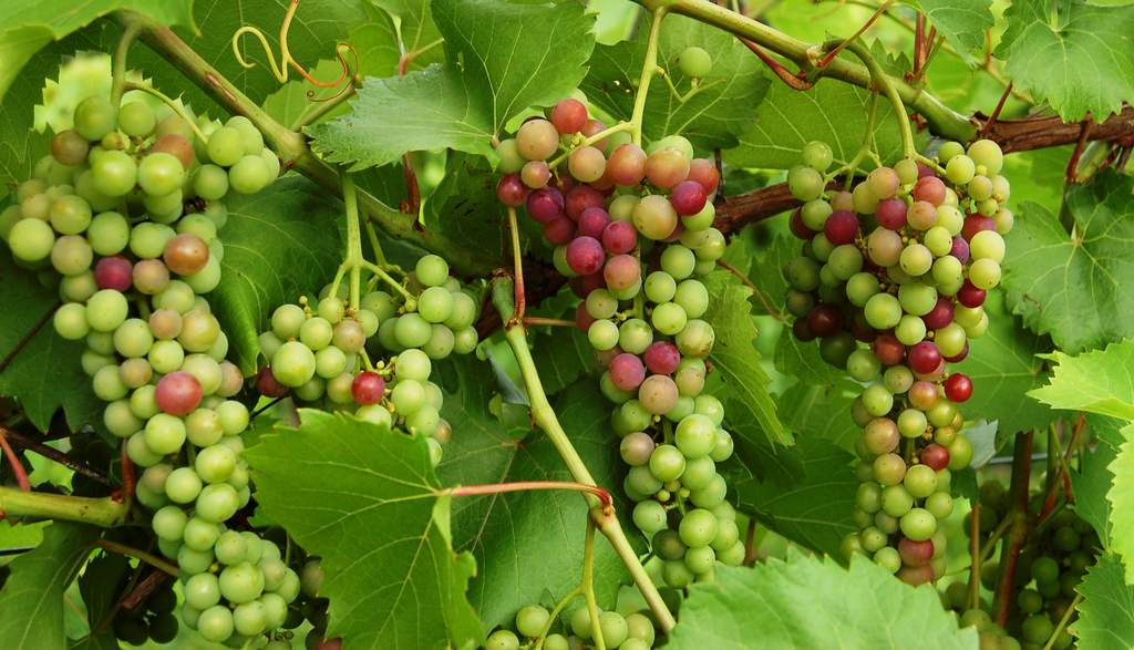 Marquette wine grapes turn from green to red during veraison at Victory View Vineyard.