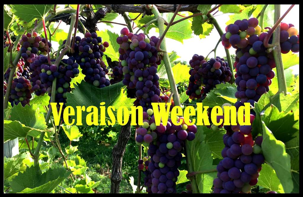 peak veraison - grapes changing color