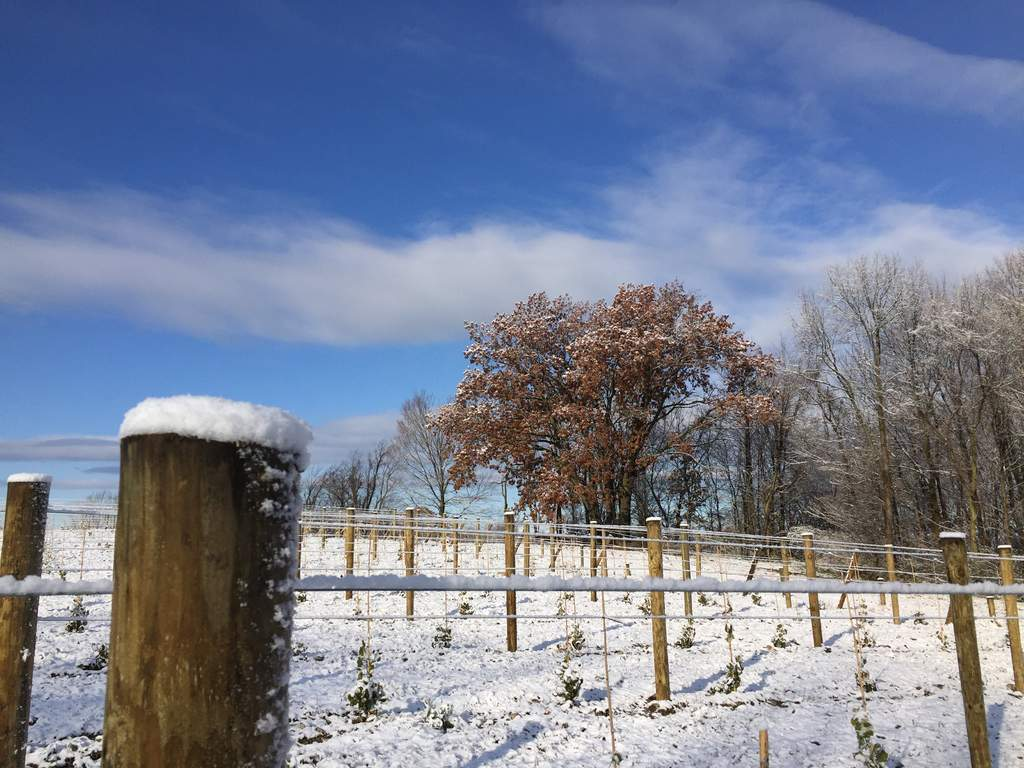 snowy posts and trellis oak tree in winter vineyard